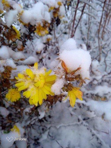 Снежные хризантемки