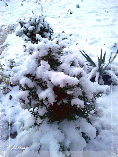 Самшит в снегу