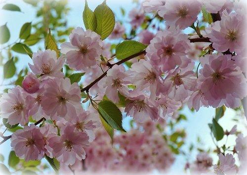 В розовом наряде в голубизне неба