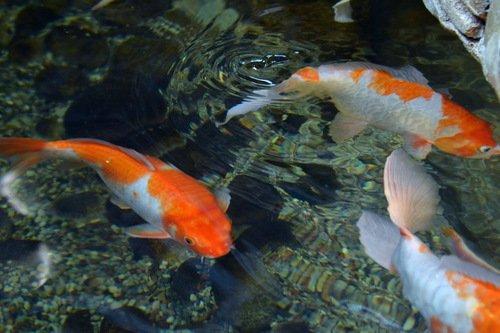Золотые рыбки китайских прудов