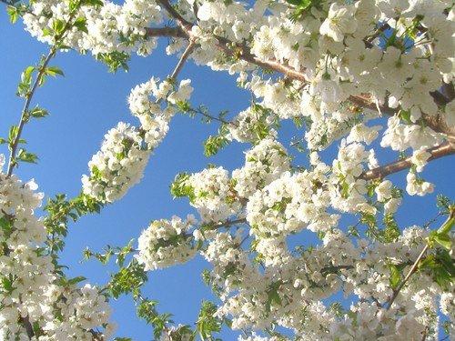Гроздья цветущие