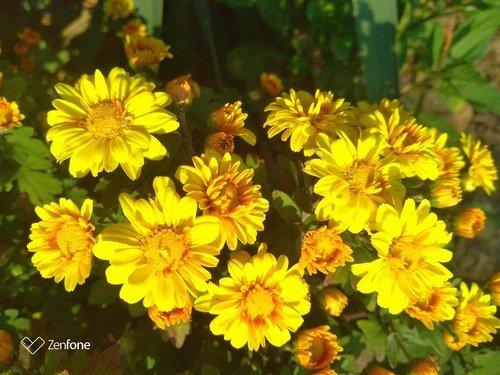 Жёлтые хризантемы.