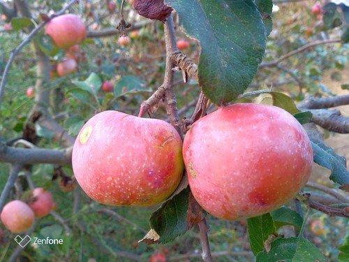Осенние яблочки.