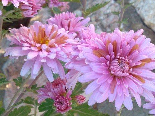 Хризантемы после заморозков...
