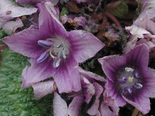 Колдовской цветок-мандрагора