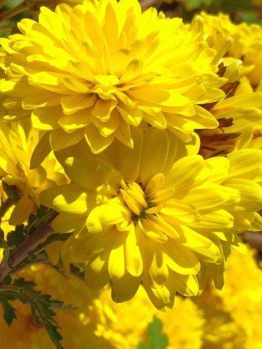 Жаркие хризантемы