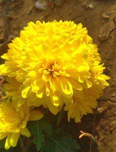 Жёлтая хризантема.