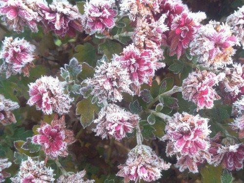 Снежные цветы.