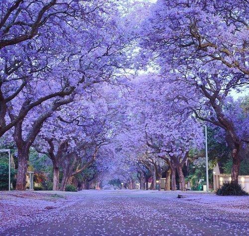 Фиалковые деревья-Жакаранда.
