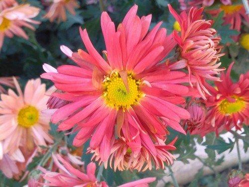 Яркая хризантема.