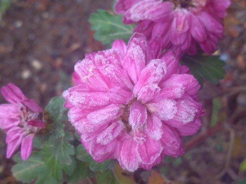 Зимние хризантемы.