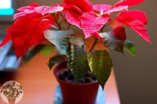 Пуансеттия-Рождественская звезда.