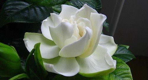 Магические и целебные свойства цветов. Гардения.