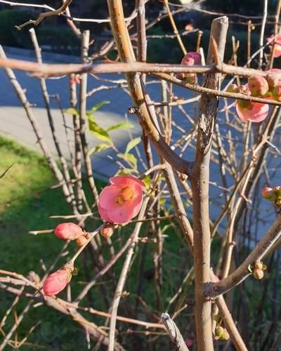 А внизу в Ялте уже цветет айва в январе...