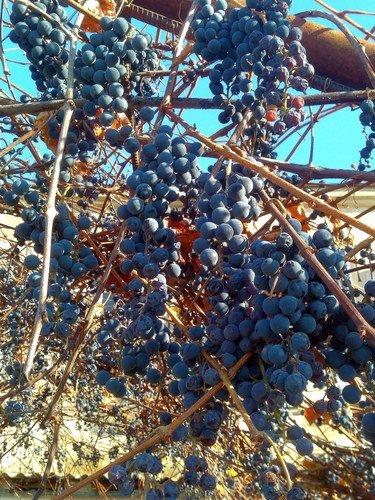 Ноябрьский виноград.