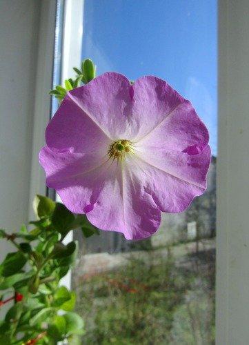 Расцвела петуния на моем окне!