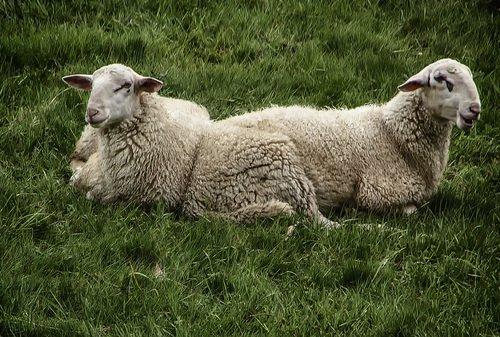 Мы бедные овечки, никто нас не пасёт ..