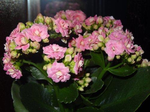 Коланхоэ розовый