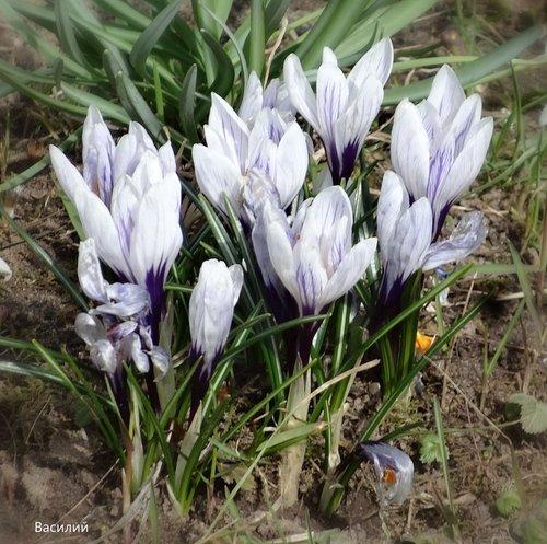 Крокусы цветут