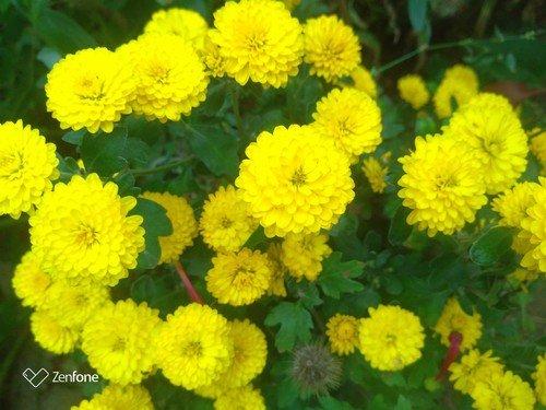 Солнечные радостные хризантемы.