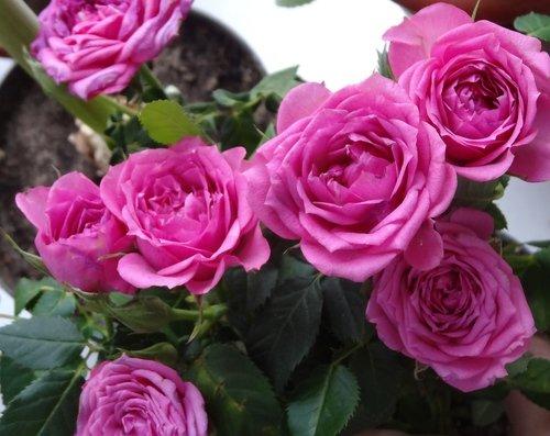 Домашние розы цветут