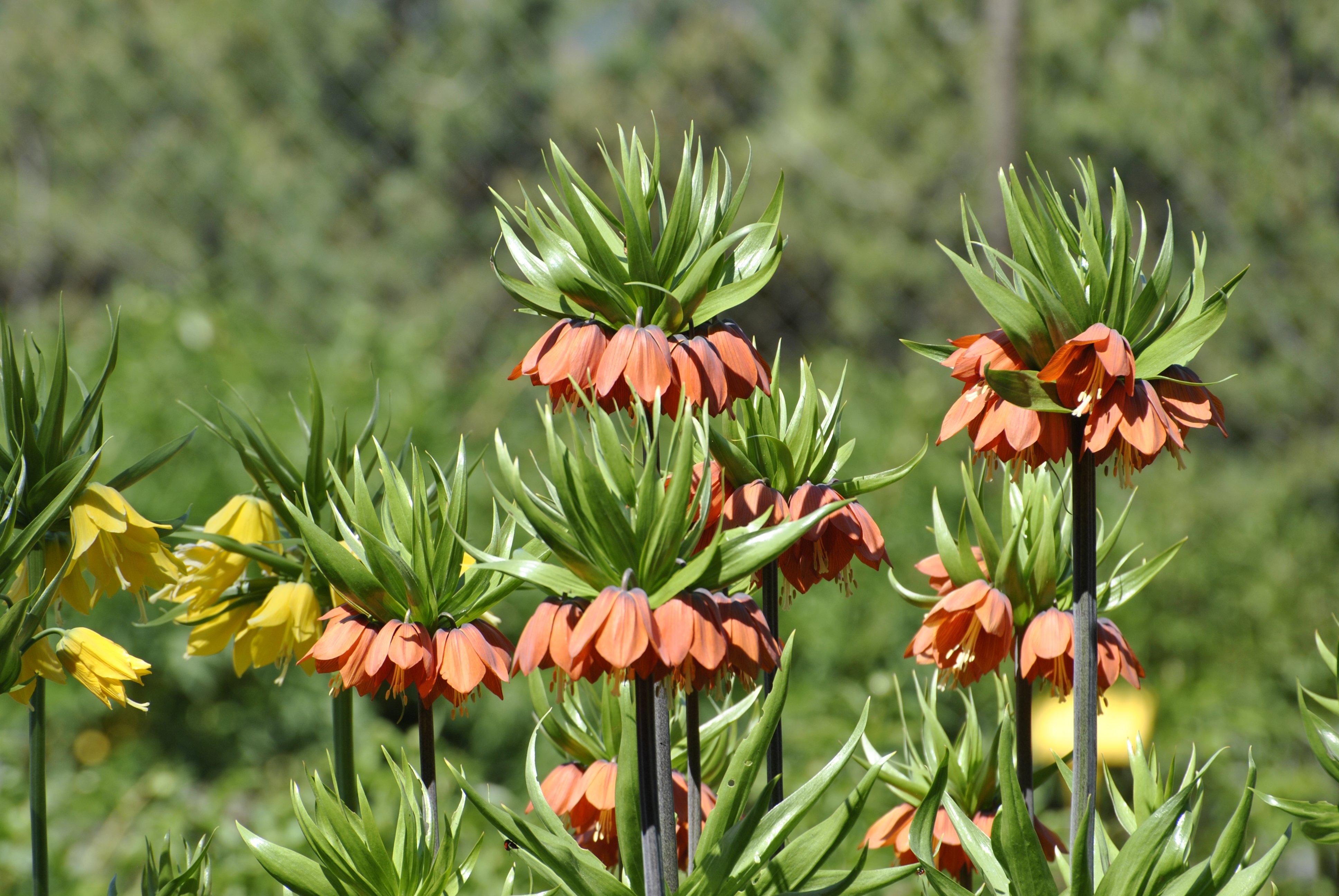 рябчики цветы сорта фото слишком густая