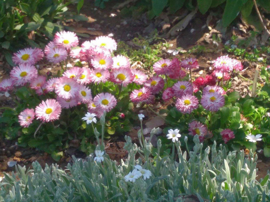 маргаритка весна красна фото там
