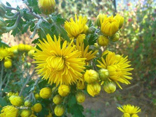 Жёлтые хризантемки.