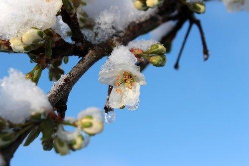Ночные морозы в Крыму! Замерзли персики!