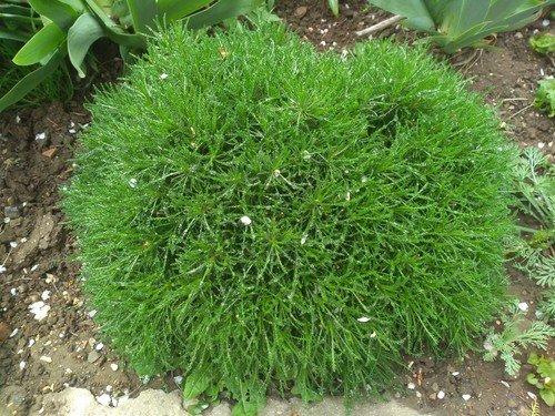 Вечнозелёная сантолина.
