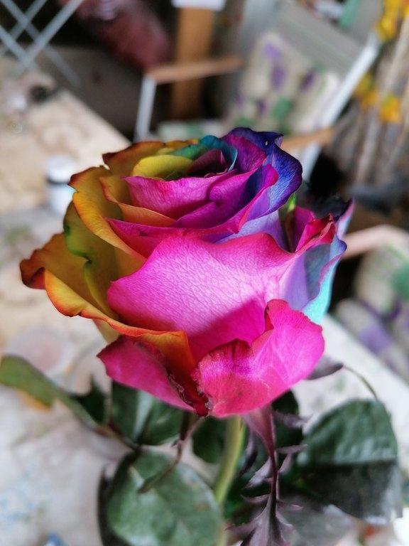 Роза цветов радуги