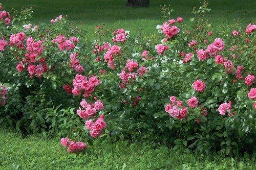 кусты розовых роз