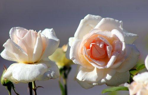 Монастырские розы.