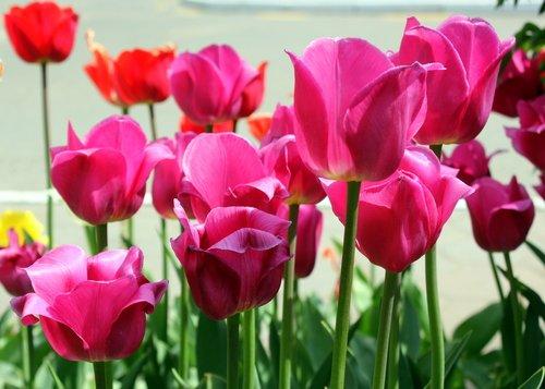 Стройные тюльпаны!