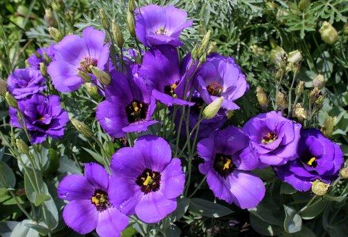 Фиолетовая эустома.