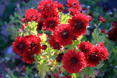 Красные хризантемы.