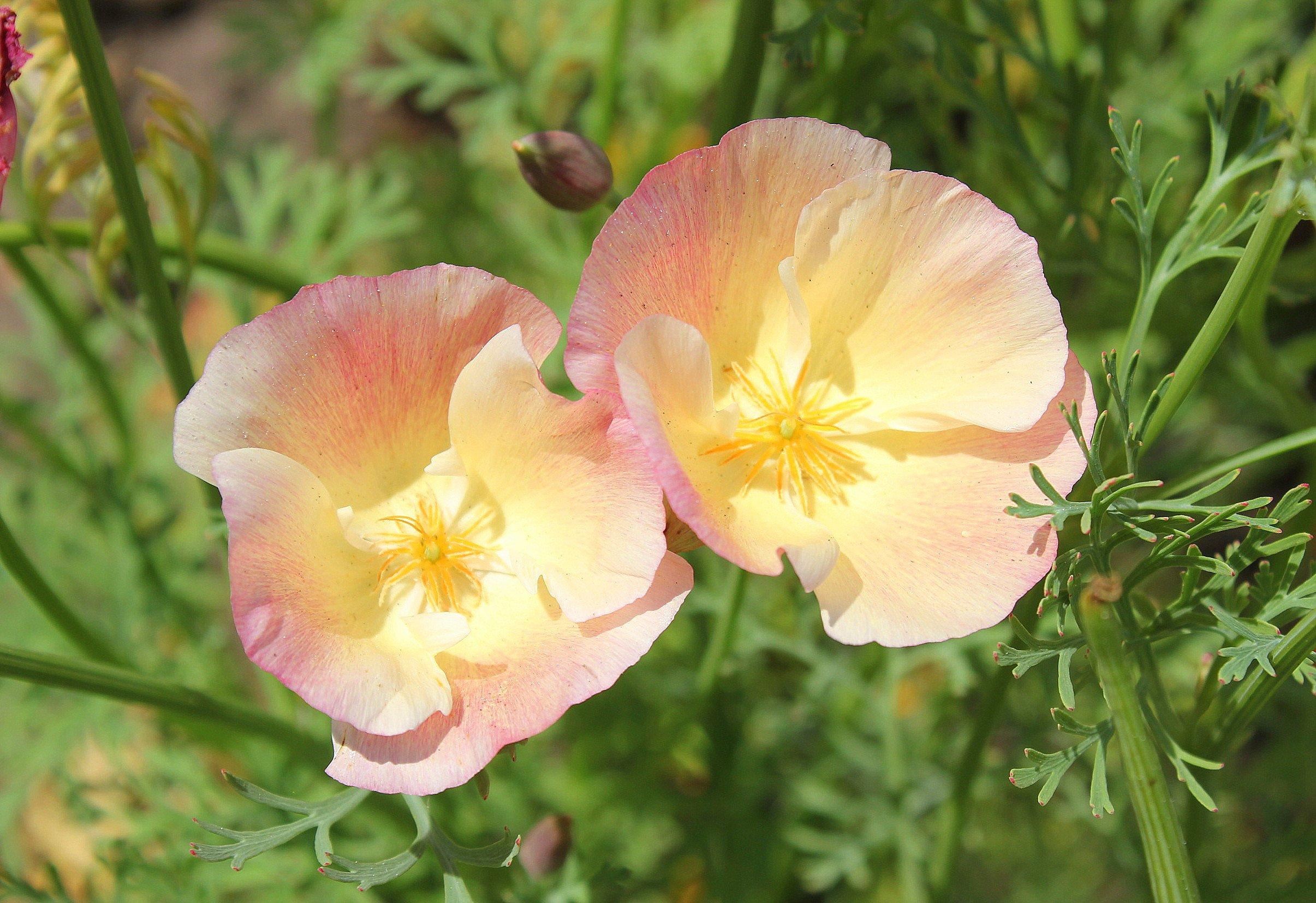 эшшольция махровая фото цветы прием