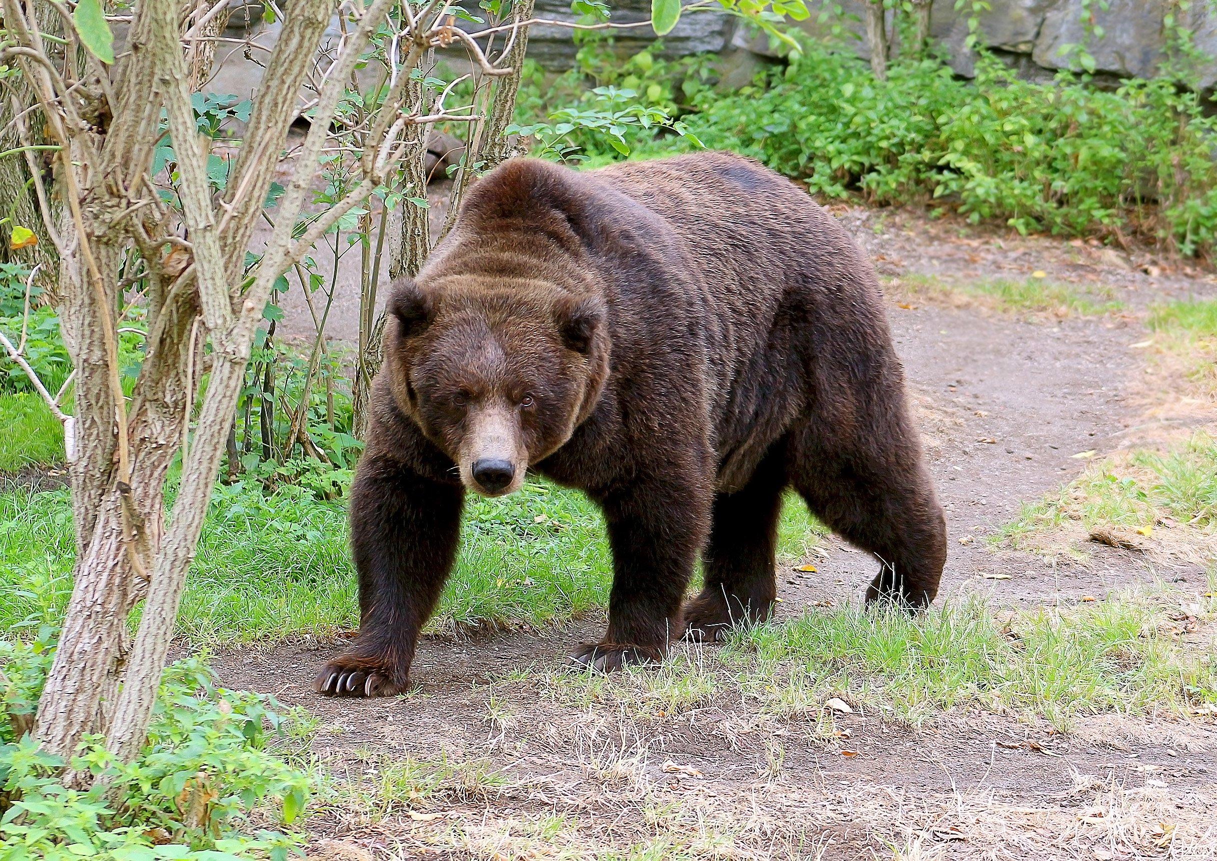 Медведь гризли картинка