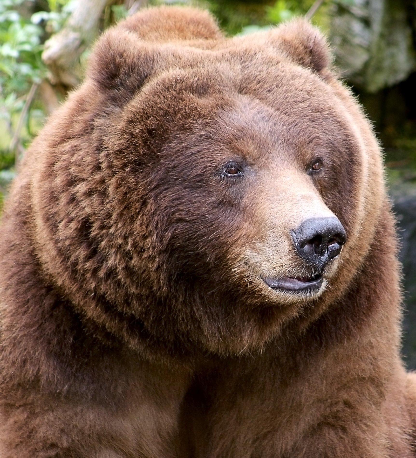 вам основу четкие фото медведь него всё ещё