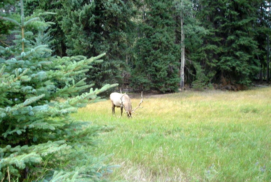 Канада. Благородный олень у Джаспера.
