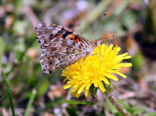 Бабочка на одуванчике.