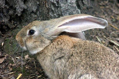 Серый кролик.