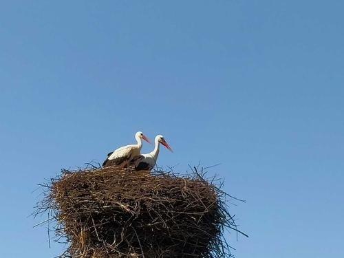 Аисты в гнезде
