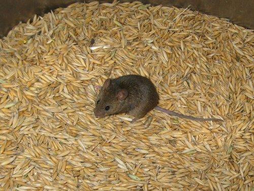 Мышка в бочке с зерном
