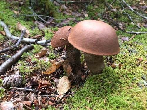 В Канаде тоже есть грибы...