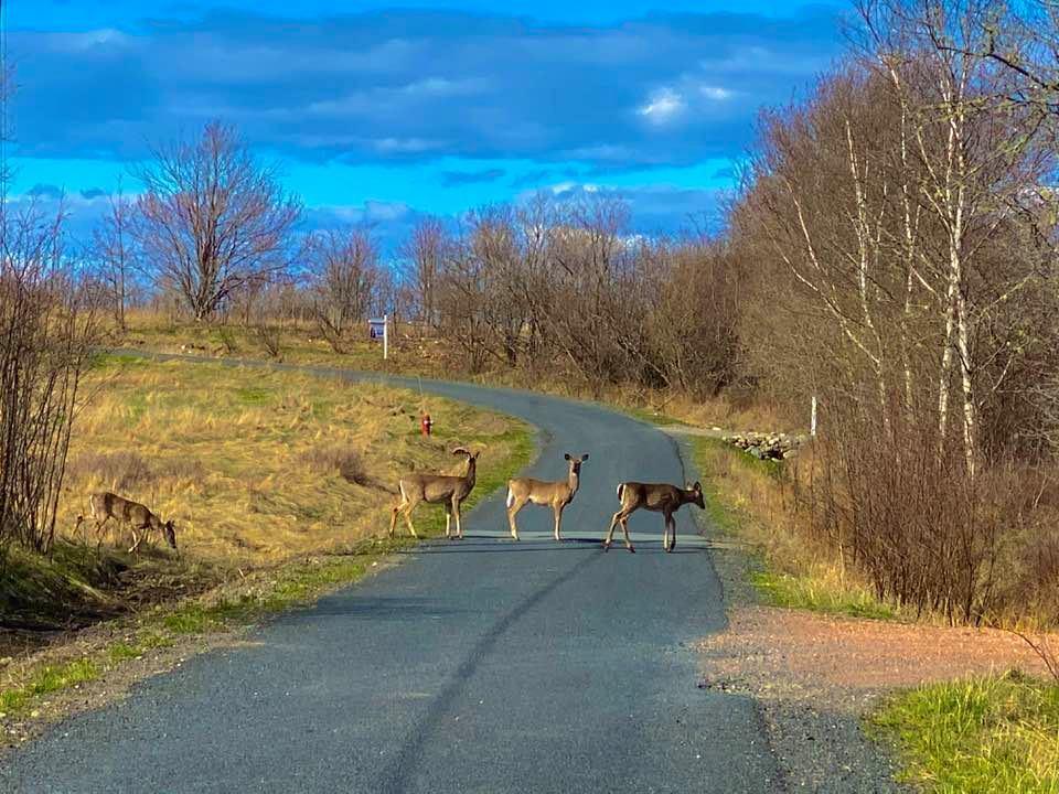 Дисциплинированные олени Канады