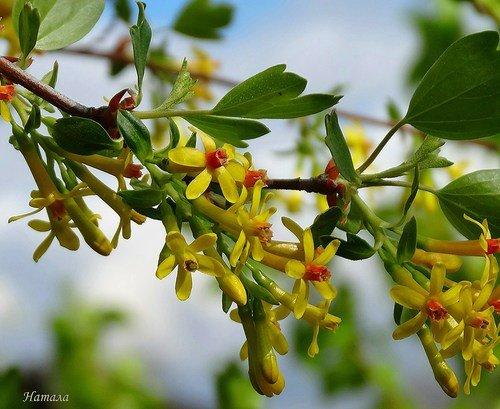 Цветет серебристая смородина