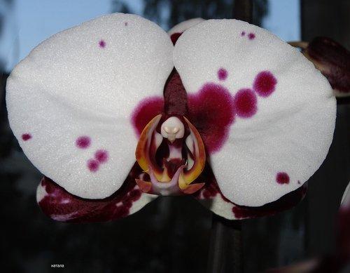 """Цветок орхидеи"""" Ева весенний цвет"""""""