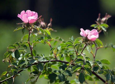 Как подобрать розу для полутени
