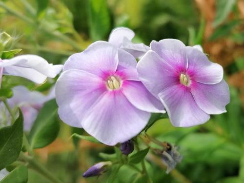 Флокс метельчатый светло-лиловый